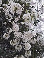 Cherry Blossoms near Library in Huangzhou District, Huanggang, Hubei 8.JPG
