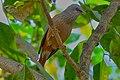 Chestnut-tailed starling, Rabindra Sarobar DSF9770.jpg