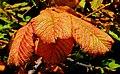 Chestnut leaf, Lisburn - geograph.org.uk - 2062747.jpg