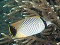 Chevroned butterflyfish (Chaetodon trifascialis) (32396204257).jpg