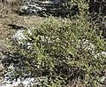 Chiliadenus iphionoides bush.JPG