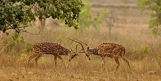 Chital - Image: Chital sparring Kanha