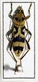 Chlorophorus varius (15726775277).jpg