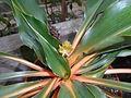 Chlorophytum orchidastrum 2016-04-28 9099.JPG