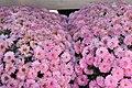Chrysanthemum Ursula 1zz.jpg