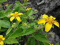 Chrysogonum virginianum 2.JPG