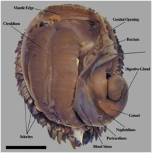 Dorsal view shows a double comb-like ctenidium on the left side. There are circulatory system structures and a digestive gland on the right side. The body is surrounded by dark sceles.