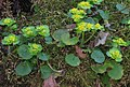 Chrysosplenium alternifolium RF.jpg