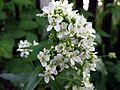 Chrzan pospolity - kwiat (4).jpg