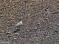 Chukar Partridge (Alectoris chukar) (27975897592).jpg