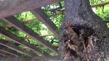 File:Cicada - Japan - August 2021.webm