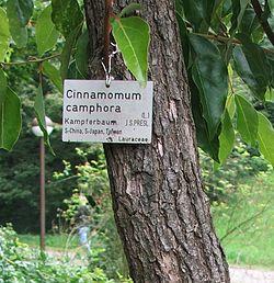 definition of cinnamomum
