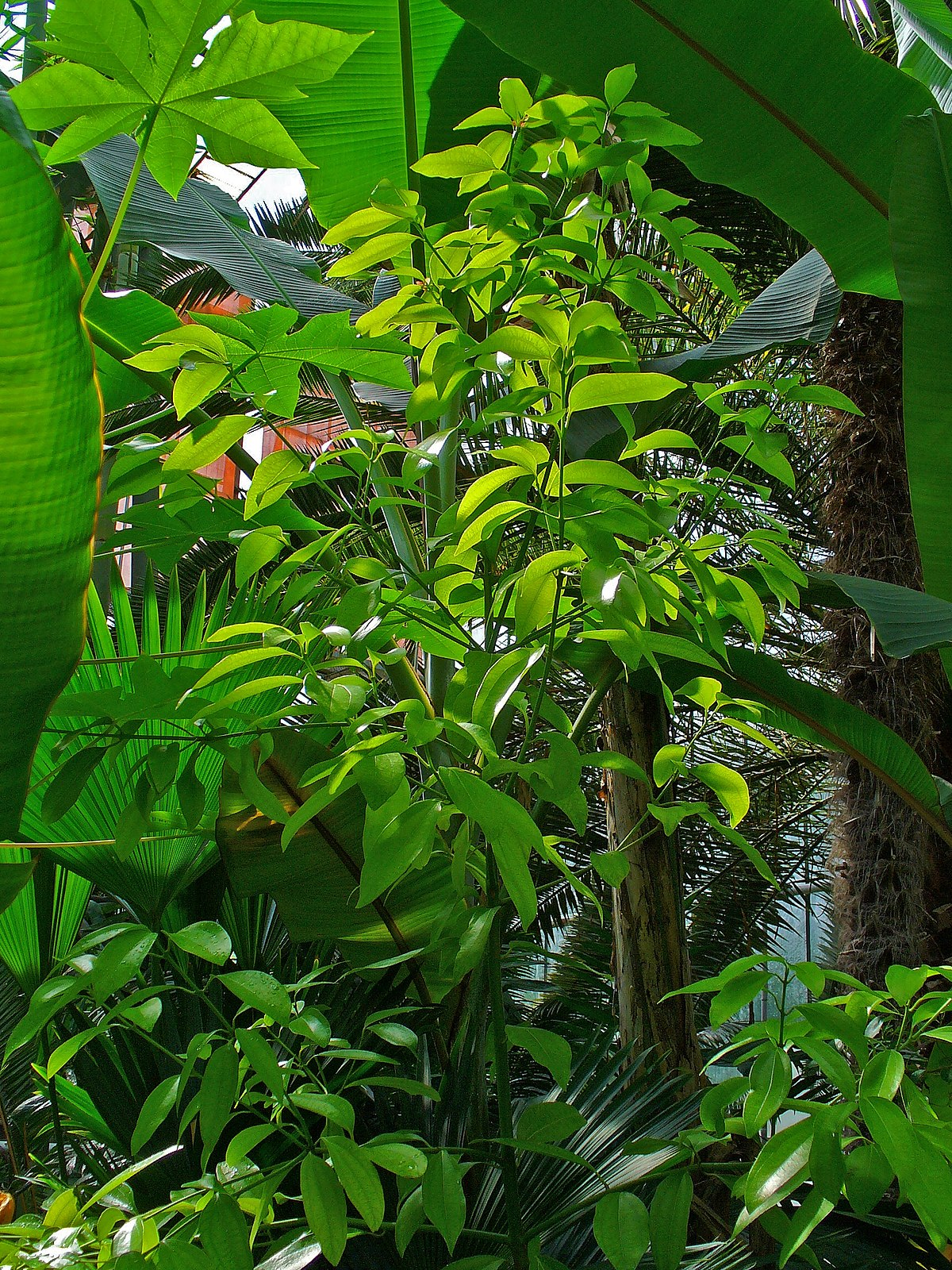 Cinnamomum verum - Wikimedia Commons