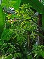 Cinnamomum verum 001.JPG