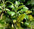 Citrus × bergamia in Jardin des Plantes de Toulouse 03.jpg