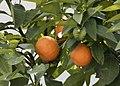 Citrus aurantium - Bitter orange 02.jpg