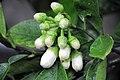 Citrus maxima (Pampelmuse) 001.jpg