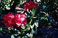 City of London Cemetery flowering shrub 6.jpg