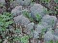 Cladonia ciliata1. jpg