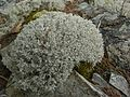 Cladonia rangiferina - Flickr - pellaea.jpg