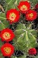 Claret cup cactus (5746292116).jpg