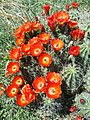 Claret cup cactus at the El Paso Museum of Archaeology1.jpg