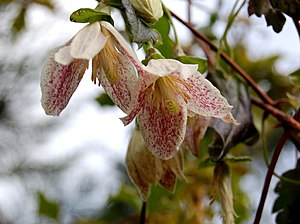 Clematis cirrhosa. These were flowering all th...
