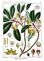 Cleyera gymnanthera.jpg