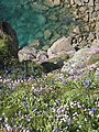 Cliff top flowers on Treryn Dinas - geograph.org.uk - 1324439.jpg
