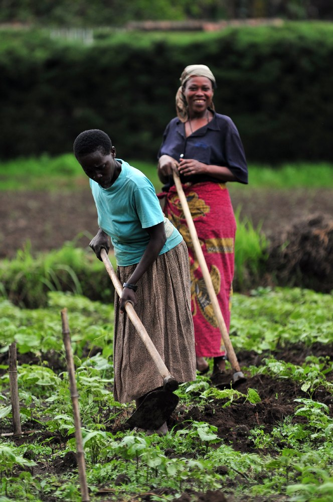 Climbing beans growing in the North Kivu (2)