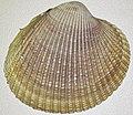 Clinocardium nuttallii (Nuttall's cockle) 1.jpg