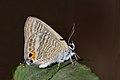 Close wing posture busking of Lampides boeticus (Linnaeus, 1767) – Pea Blue WLB DSC 7703.jpg