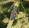 Coccinella septempunctata (7-spot ladybird) - larva - Flickr - S. Rae.jpg