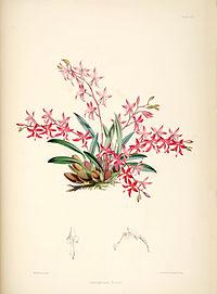 Cochlioda rosea (as Odontoglossum roseum) - pl. 22 - Bateman, Monogr.Odont