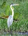 Cocoi Heron (Ardea cocoi) (39459827242).jpg