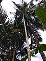 Coconut trees2.jpg