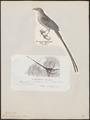 Colius erythromelon - 1809-1845 - Print - Iconographia Zoologica - Special Collections University of Amsterdam - UBA01 IZ19300013.tif