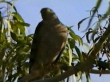 Bestand:Collared Sparrowhawk.ogv