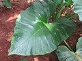 Colocasia - ചേമ്പ് 003.jpg