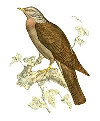 Columba pollenii 1868