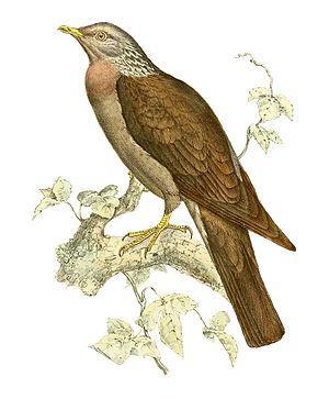 1866 in birding and ornithology -  Comoros olive pigeon Illustration from Recherches sur la faune de Madagascar et de ses dépendances by François Pollen and Douwe Casparus van Dam