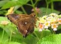 Common Awl Hasora badra MNP Mumbai by Dr. Raju Kasambe DSCN4289 ed (10).jpg