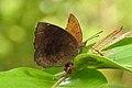 Common Castor Ariadne merione by Dr. Raju Kasambe DSCN5025 (4).jpg