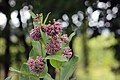 Common Milkweed (35291881514).jpg