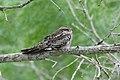 Common Nighthawk-Laguna Atascosa NWR-TX - 2015-05-15at12-47-531 (21421162538).jpg