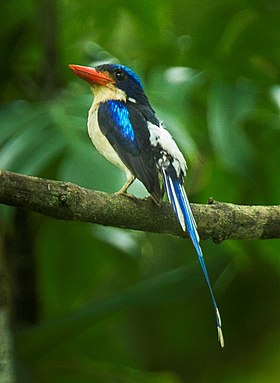 Common Paradise-Kingfisher - Halmahera S4E4008.jpg