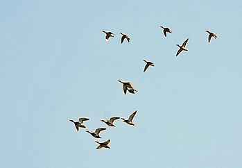 English: Common Teal Anas crecca at Purbasthal...