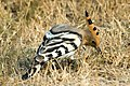 Common hoopoe Upupa epops (2154437591).jpg