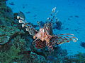 Common lionfish at Sataya reef.JPG