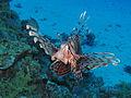Common lionfish at Sataya reef.JPG